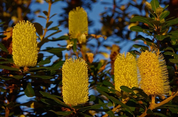 Banksia: caratteristiche