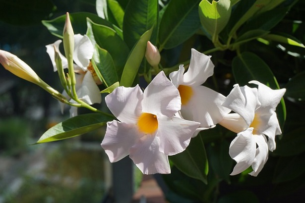 Dipladenia bianca: caratteristiche e coltivazione