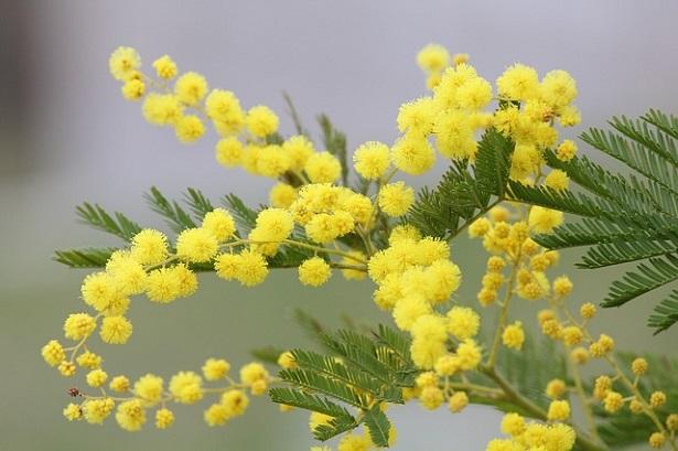 tipi di arbusti: mimosa