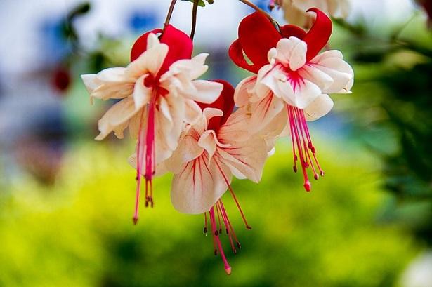 fiori di Enkianthus