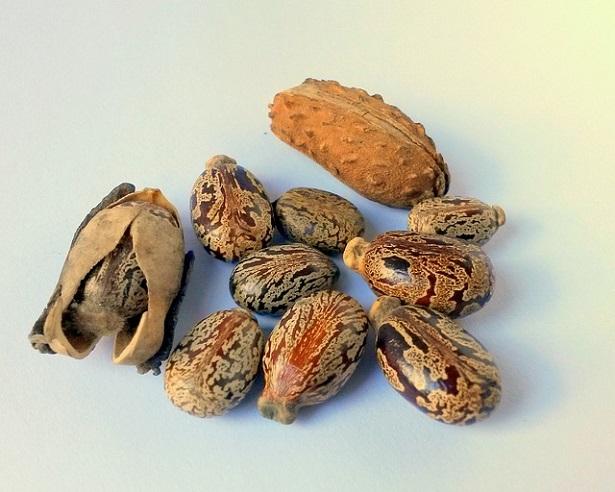 semi di ricino
