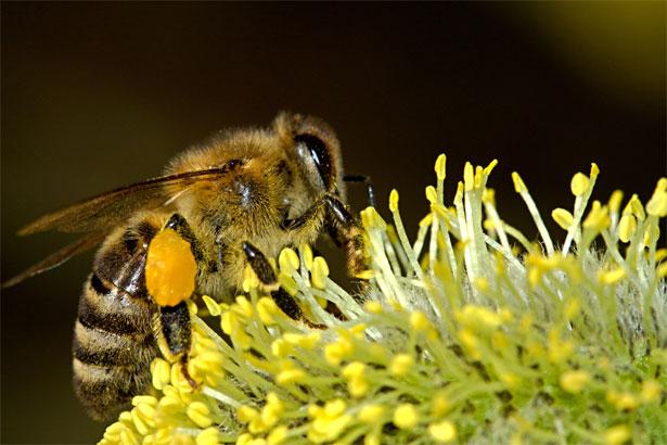 ape su fiore giallo