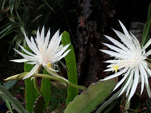 fiori di cereus